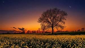 Lonely Tree In The Rape Field HD Wallpaper Wallpaper