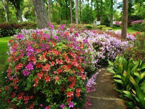 the 25 best ideas about azalea shrub on