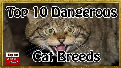 dangerous cat most breeds know