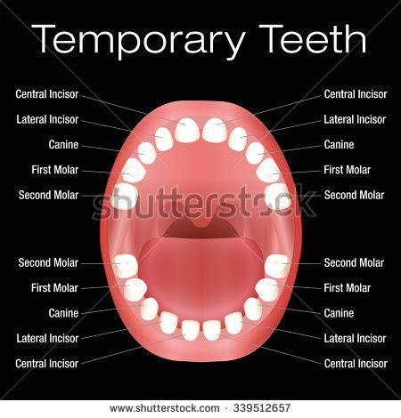 primary teeth temporary teeth names vector stock vector