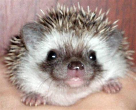 Best 25+ Pygmy Hedgehog Ideas On Pinterest