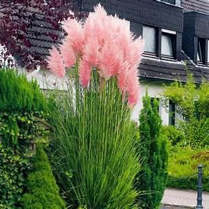 Heidekraut Winterhart Kaufen : rosa pampasgras von g rtner p tschke pflanzenideen f r ~ Lizthompson.info Haus und Dekorationen