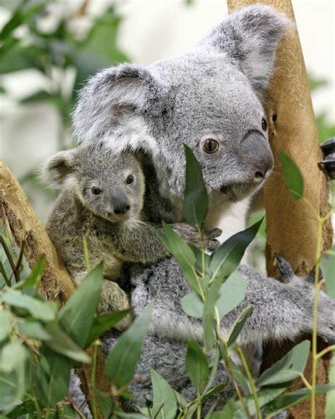 habitat si鑒e social il koala e i pericoli per la sua specie