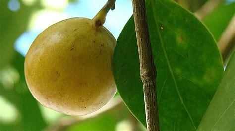 manchineel  death apple   worlds