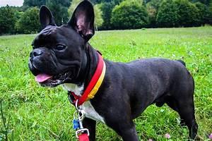 Hundebekleidung Französische Bulldogge : american bis victorian bulldoggen rassen und varianten von american bis victorian bulldogge ~ Frokenaadalensverden.com Haus und Dekorationen