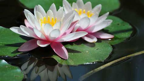 gambar bunga teratai lucu pernik dunia