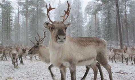 Reindeer Arctic Circle Safari   Rovaniemi Lapland
