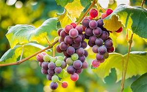 Grapes Full HD Wallpaper and Background | 2880x1800 | ID ...