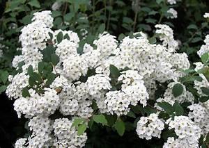 Aktuelle Blumen Im April : geh lzliste heckenpflanzen f r bienenweide bienenfutterpflanzen ~ Markanthonyermac.com Haus und Dekorationen