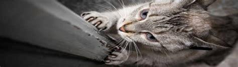 comment eviter les griffes de chat sur canape comment emp 234 cher un chat de faire ses griffes comportement du chat feliway