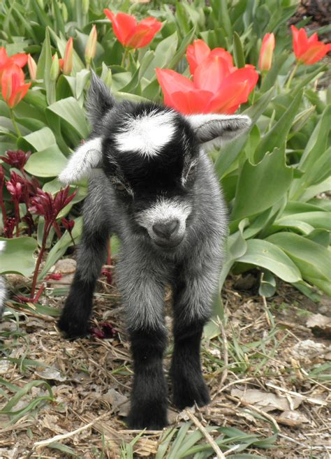 baby goat  farmers almanac