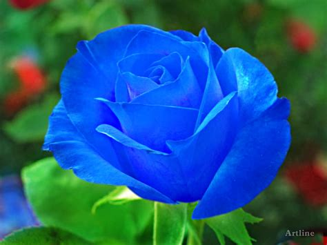 blue rose  green leaf hd wallpaper artline feel  creation