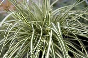 Carex Hachijoensis Evergold Pflege : carex oshimensis 39 evergold 39 ~ Lizthompson.info Haus und Dekorationen
