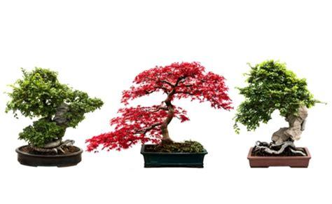 bonsai baum pflege der bonsai baum im interior design eine kunst verwurzelt in harmonie