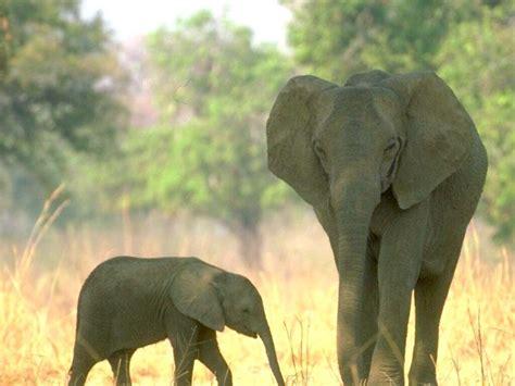 elephants wild life animal