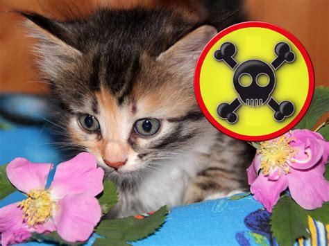 Giftige Zimmerpflanzen Für Katzen by Giftige Pflanzen F 252 R Katzen