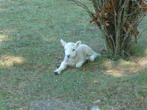 home show  sheep farm