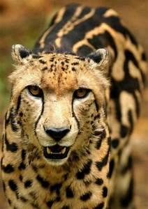 King Cheetah. | Animals Are Beautiful People | Pinterest