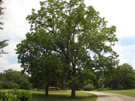 walnut tree gardening around black walnut trees