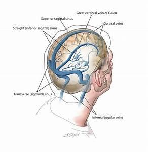 Anatomy Of Sinuses Brain Sinus Anatomy Human Anatomy