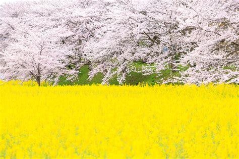 beautiful spring flowers  japan