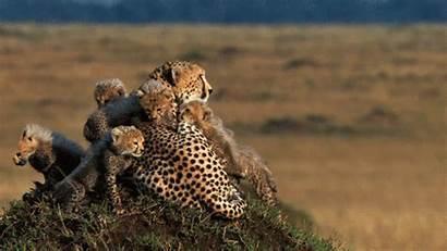 Animals Animated Animal Gifs Cheetah Amazing Wild