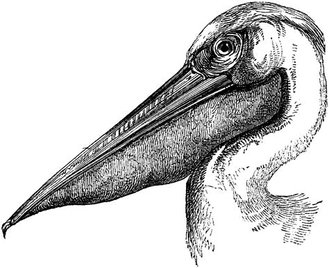 Free Pelican Coloring Pages