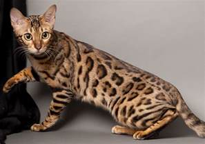 what is a bengal cat 11 friendliest cat breeds for pets world
