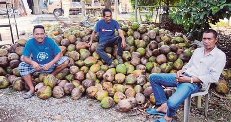kelapa tua tak laku harian metro