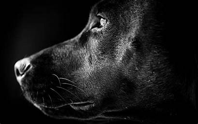 Wallpapers Profile Labrador Lab Portrait 1080p 4k