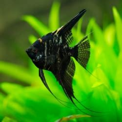 black velvet angelfishcurrently unavailable discus madness