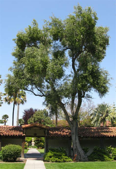 olive tree california ufei selectree a tree selection guide