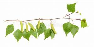 Branche De Bouleau : branche de bouleau photo stock image du m decine catkin ~ Melissatoandfro.com Idées de Décoration