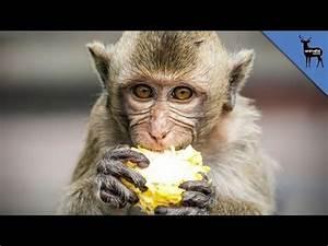 What Else Do Monkeys Eat Besides Bananas? - YouTube