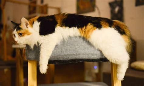himalayan cat sitting  orange sofa chair  daytime