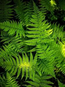 Pflanzen Für Schattige Plätze : farne blattschmuck f r schattige pl tze der palmenmann ~ Orissabook.com Haus und Dekorationen