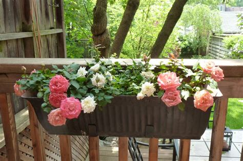 roses tremieres en pots small garden growing roses in containers balcony patio and terrace balcony garden web