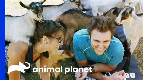 ultimate goat yoga experience hanging