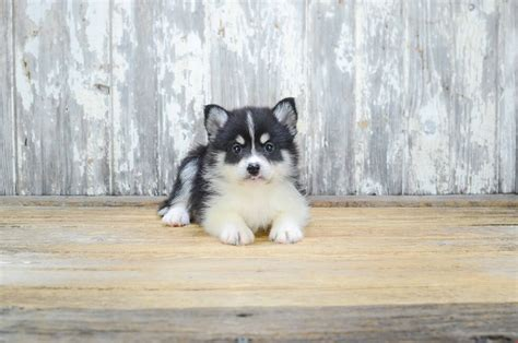 where to adopt a puppy pomsky pomsky characteristic appearance and pictures