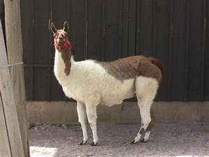 Lama Glama  Llama