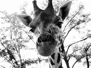 Black-and white giraffe by Zsurzsi on DeviantArt