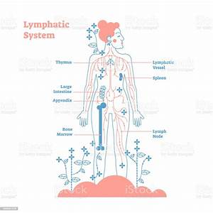 Artistic Lymphatic System Anatomical Vector Illustration