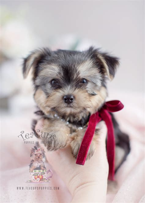 beautiful morkie puppies  sale  teacups teacups
