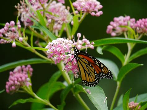 milkweed plants for monarchs a call to 2013 7504