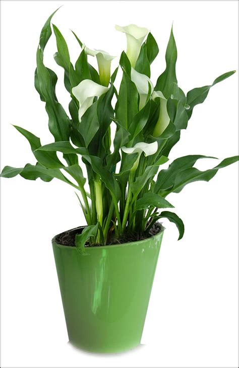 Calla Zimmerpflanze Pflege by Calla Care Indoors The Garden