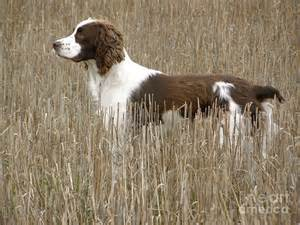 field bred springer spaniel photograph by angie rea