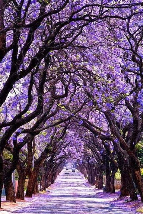 jacaranda tree tunnel sydney australia we saw these in