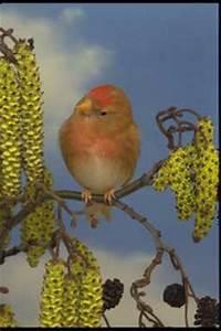 Vind barmsijs in Vogels overige vogels