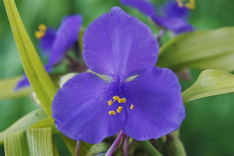 Small Kitchen Reno Ideas - how to grow spiderwort a beautiful spring bloomer