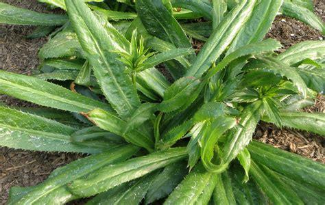 growing cilantro growing culantro bonnie plants